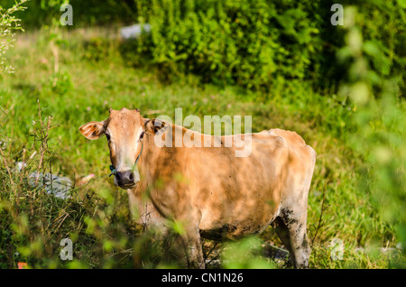 Brown cow on a farmland in Thailand - Stock Photo