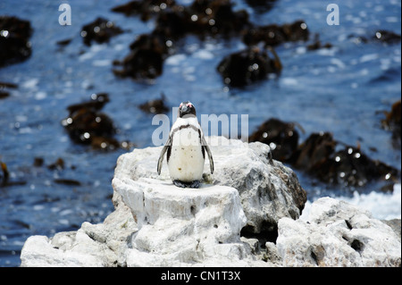 African penguin colony at Stoney Point on Betty's Bay, Western Cape, South Africa - Stock Photo