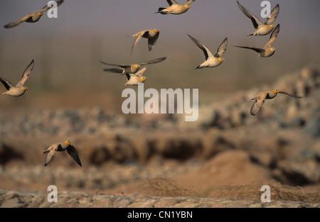 Spotted Sandgrouse (Pterocles senegallus) flock in flight Sinai Egypt - Stock Photo