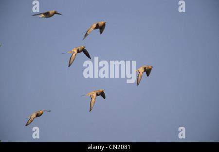 Spotted Sandgrouse (Pterocles senegallus) small flock in flight Sinai Egypt - Stock Photo