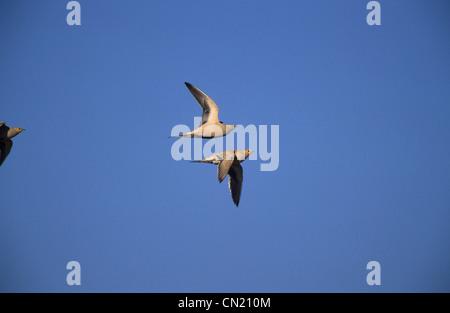 Spotted Sandgrouse (Pterocles senegallus) male in flight Sinai Egypt - Stock Photo