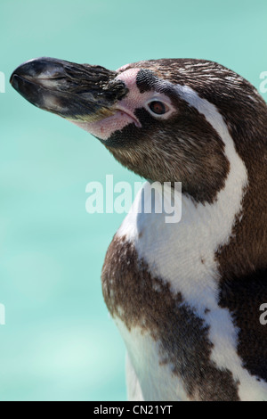 Humboldt penguin - Spheniscus humboldti - Stock Photo