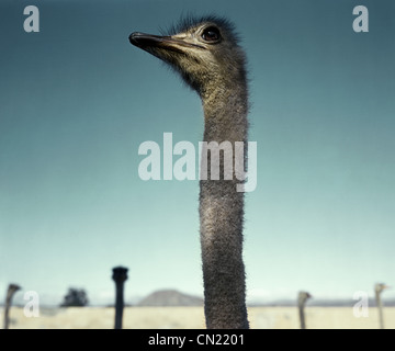 Ostrich in the desert, South Africa - Stock Photo