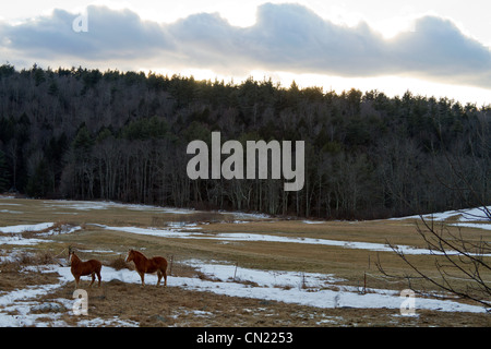 Two horses in field, Massachusetts, USA - Stock Photo