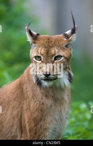 Canada Lynx or Northern Lynx - Felis Canadensis - portrait - Stock Photo