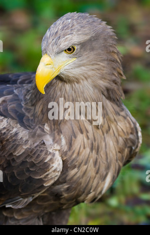 White Tailed Sea Eagle - Haliaeetus albicilla - portrait - Stock Photo