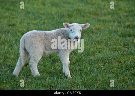 Portrait of a lamb in a field during lambing season in Nidderdale, Yorkshire - Stock Photo