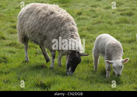 A ewe and her lamb in a field in Nidderdale, Yorkshire - Stock Photo