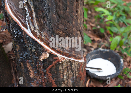 Cambodia, Ratanakiri Province, near Banlung (Ban Lung), latex being collected from a tapped rubber tree - Stock Photo