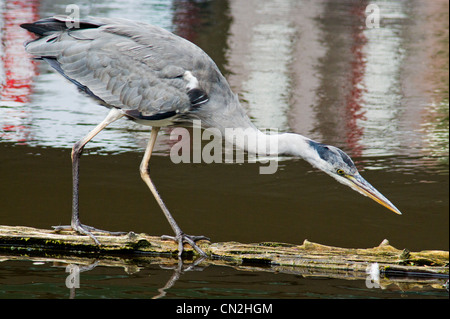 Hunting Heron on a tree log in a canal - Stock Photo