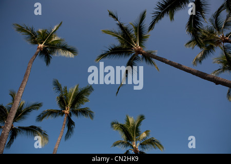 Palm trees against clear blue sky, low angle - Stock Photo