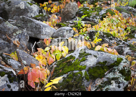 Autumn Leaves Against Moss Covered Rocks, Montana, USA - Stock Photo