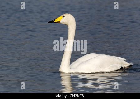 Whooper swan, Cygnus cygnus, Single bird on water, London parks, March 2012 - Stock Photo