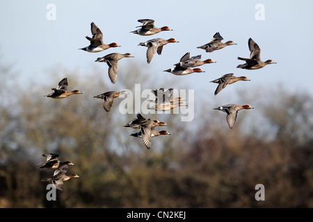 Wigeon, Anas penelope, group of birds in flight, Gloucestershire, March 2012 - Stock Photo