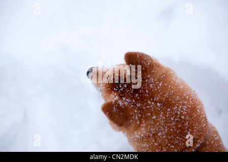 Shiba inu dog in snow, close up of head - Stock Photo