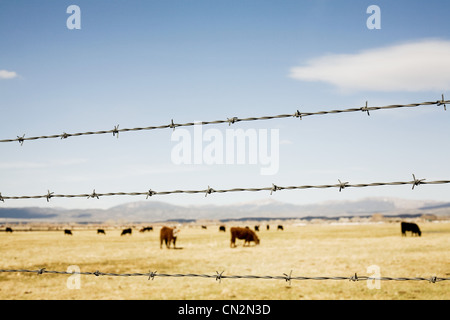 Prairie cattle and barbed wire fence, Nevada, USA - Stock Photo