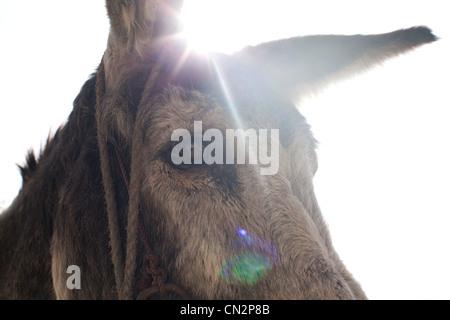 Donkey's head, close up - Stock Photo