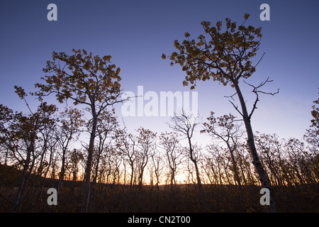 Trees and Branches Against Morning Sky, Silhouette, Montana, US - Stock Photo