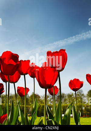 Red tulips in park, close up - Stock Photo