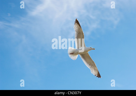 Seagull flying - Stock Photo