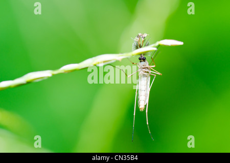 mosquito in nature or in the city and danger for children - Stock Photo