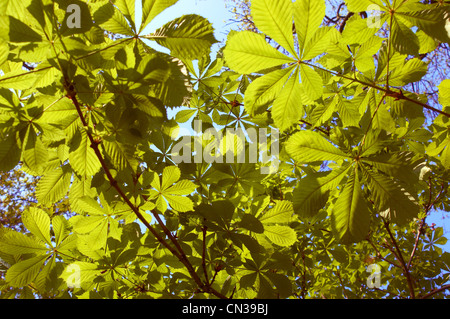 Sunlight through horse chestnut leaves - Stock Photo