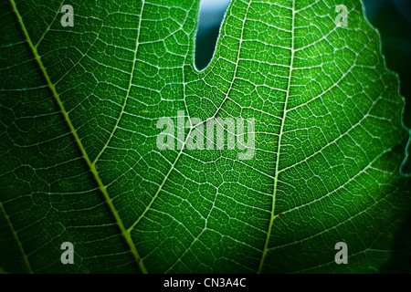 Green leaf, close up - Stock Photo