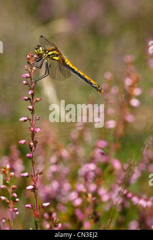 Black Darter Dragonfly (Sympetrum danae) on heather. Shropshire,, England. August. - Stock Photo