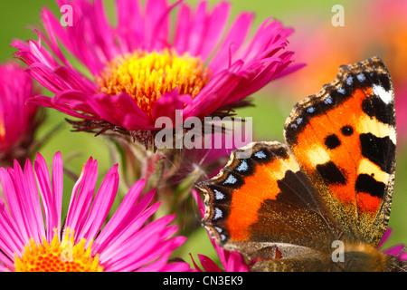 Small Tortoiseshell butterfly (Aglais urticae) feeding on Michealmas daisy (Aster novae-angliae) in a garden. - Stock Photo