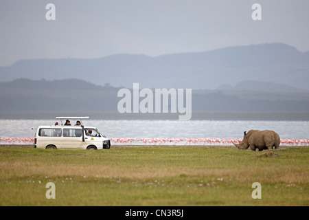 Kenya, Great Rift Valley, Lake Nakuru National Park, White rhinoceros (Ceratotherium simum) - Stock Photo