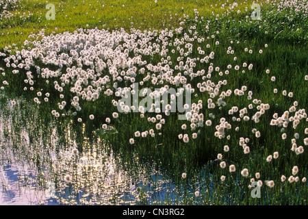 France, Alpes Maritimes, Parc National du Mercantour (Mercantour National Park), High Tinee, linaigrette of Scheuchzer - Stock Photo