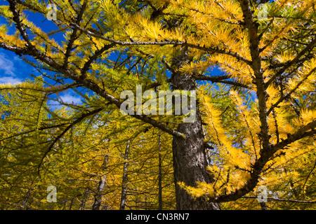 Italy, Piedmont, valley of Saint Anne under the Colle della Lombarda (Col de la Lombarde), the needles of larches - Stock Photo