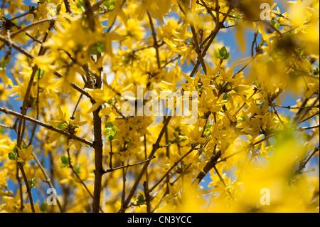 Forsythia x intermedia in bloom - Stock Photo