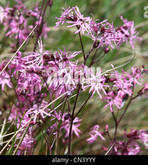 Lychnis flos-cuculi, commonly called Ragged Robin, is a herbaceous perennial plant in the family Caryophyllaceae, - Stock Photo