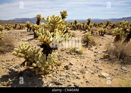 Teddybear Cholla cactus in Joshua Tree National Park, California - Stock Photo