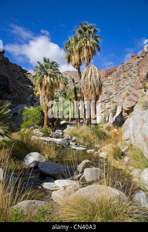 Fan palms in Murry Canyon, Indian Canyons, near Palm Springs, California - Stock Photo