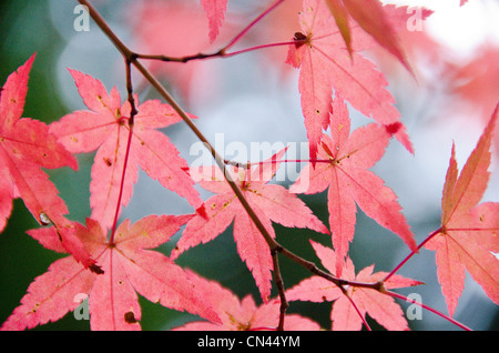 Red leaves of the japanese maple Acer palmatum in autumn, foliage - Stock Photo