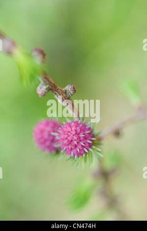 Larix decidua. Larch tree female flower in spring - Stock Photo