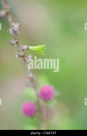 Larix decidua. Larch tree needles and flowers in the english countryside. Selective focus - Stock Photo