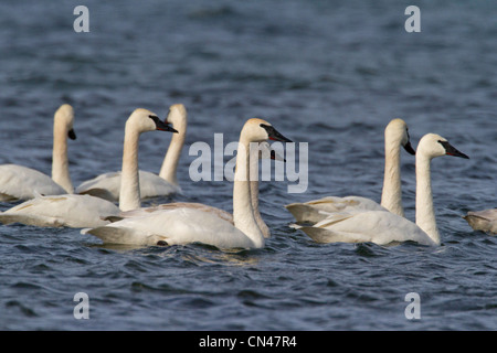A group of Trumpeter Swans (Cygnus buccinator) on the ocean at the Little Qualicum River Estuary, Vancouver Island, - Stock Photo