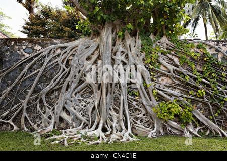 Strangler fig tree on wall in Con Son, Con Dao Island, Vietnam - Stock Photo