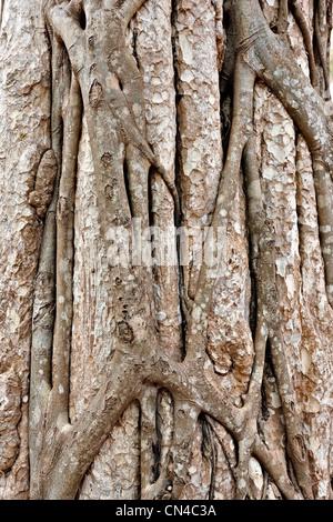 Trunk of tropical tree, close-up, Siem Reap, Cambodia     , Vietnam - Stock Photo