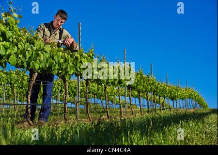 Australia, South Australia, La Clare valley, Seven hills cellar, the oldest cellar in the valley, Gary Schutz is - Stock Photo