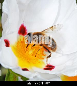 honeybee honey bee (Apis Mellifera or Western Honey Bee) - Stock Photo
