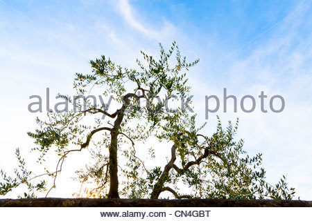 Olive trees silhouetting against setting sun and blue sky - Stock Photo