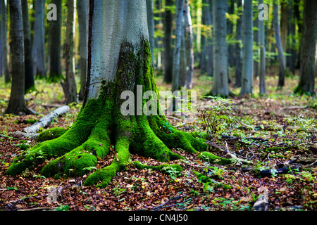 Moss on tree roots in forest - Stock Photo