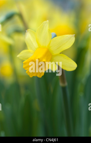 daffodils shallow depth of field springtime - Stock Photo