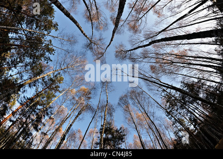 Fisheye view of birch and pine trees in forest - Stock Photo