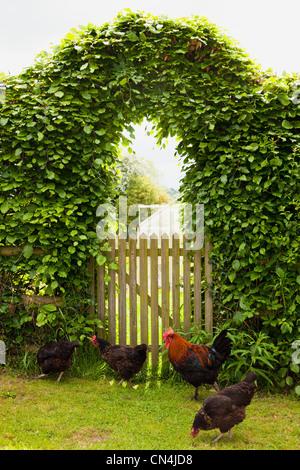 Free roaming chickens in garden - Stock Photo