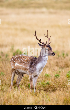 Fallow deer - Dama dama - stag in Richmond Park, UK - Stock Photo